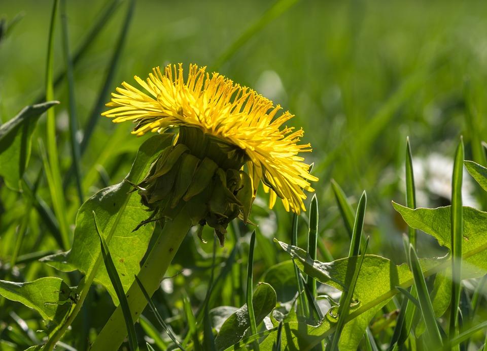 Dandelion In The Grass, Yellow Flower, Grass, Green