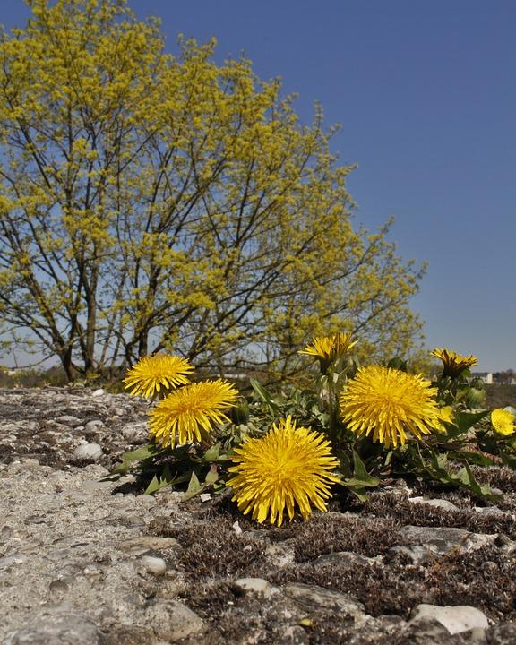 Yellow, Landscape, Spring, Dandelion