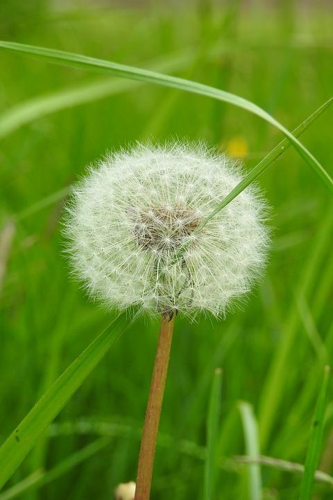 Lawn, Nature, Plant, Summer, Dandelion