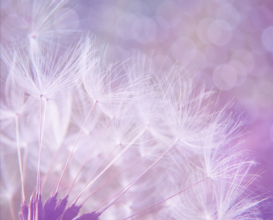 Dandelion, Abstract, Purple, Background, Bokeh, Lights