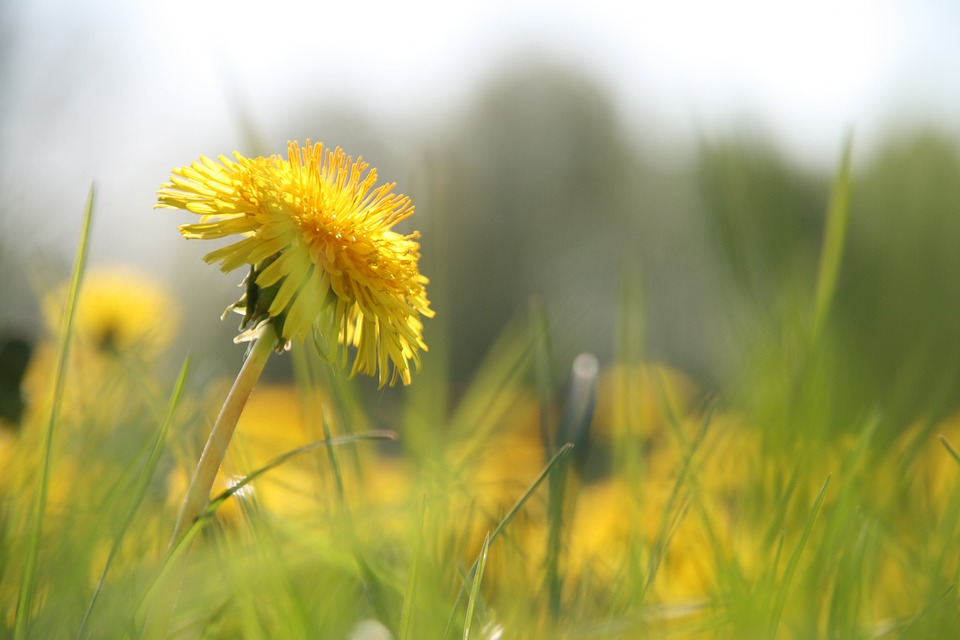 Nature, Grass, Field, Summer, Meadow, Dandelion, Close