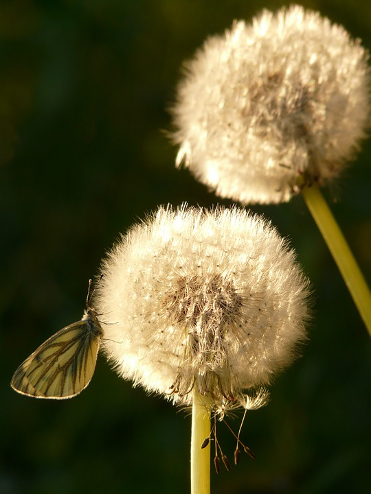 Dandelion, Seeds, Flower, Meadow, Spring, Stalk