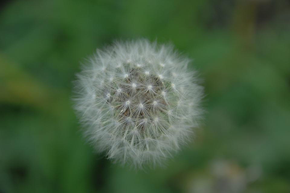 Dandelion, Mr Hall, Seeds, Flowers, Dandelion Mr Hall