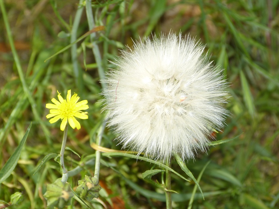 Flower, Dandelion, Daisy, Floral, Plant, Natural