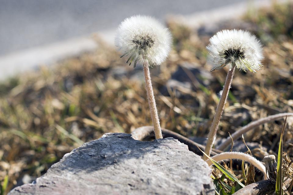 Nature, Dandelion, Spring, Flower, Meadow, Natural