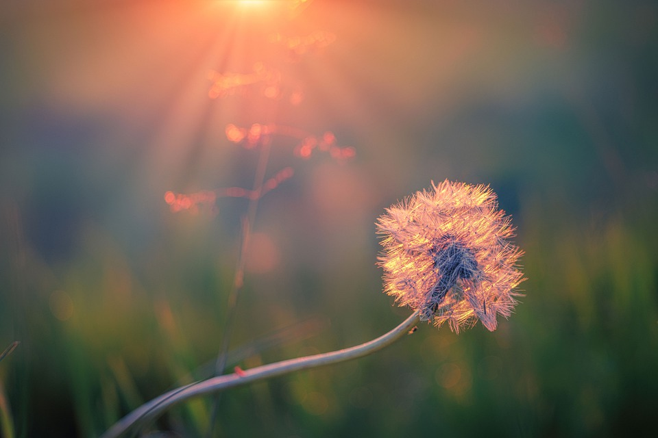 Dandelion, Seeds, Nature, Close Up, Plant, Flower