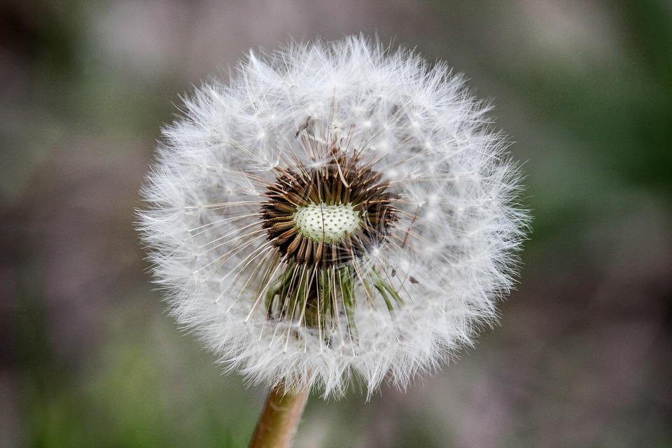 Dandelion, Nature, Flora, Flower, Downy