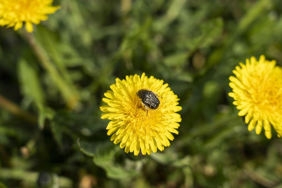 Dandelion, Dandelions, Nature, Flower, Meadow, Macro