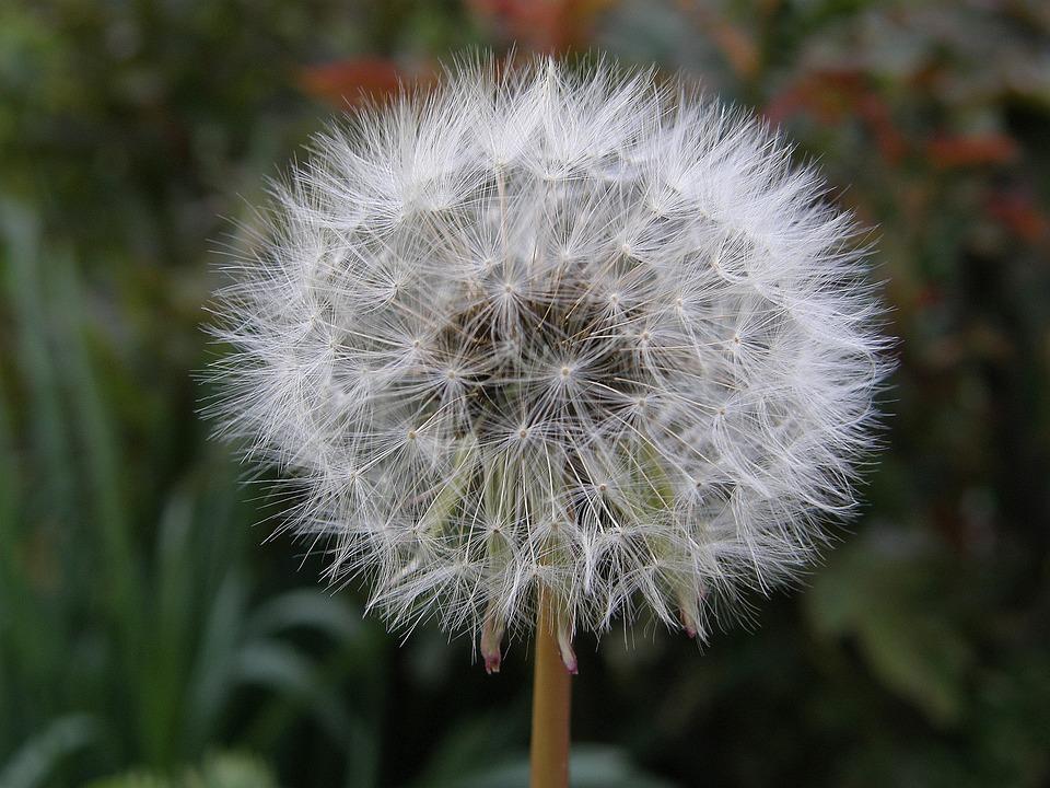Dandelion, Nature, Plant, Flower, Summer, Garden