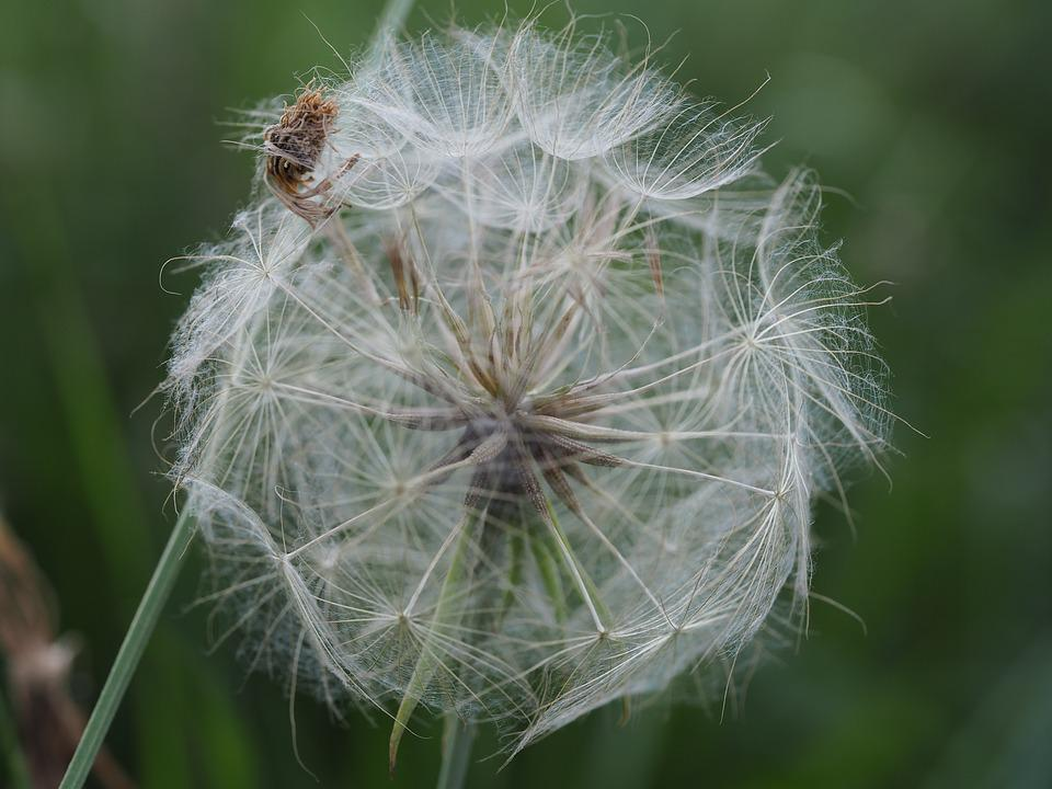 Dandelion, Nature, Green, Flower, Close, Pointed Flower