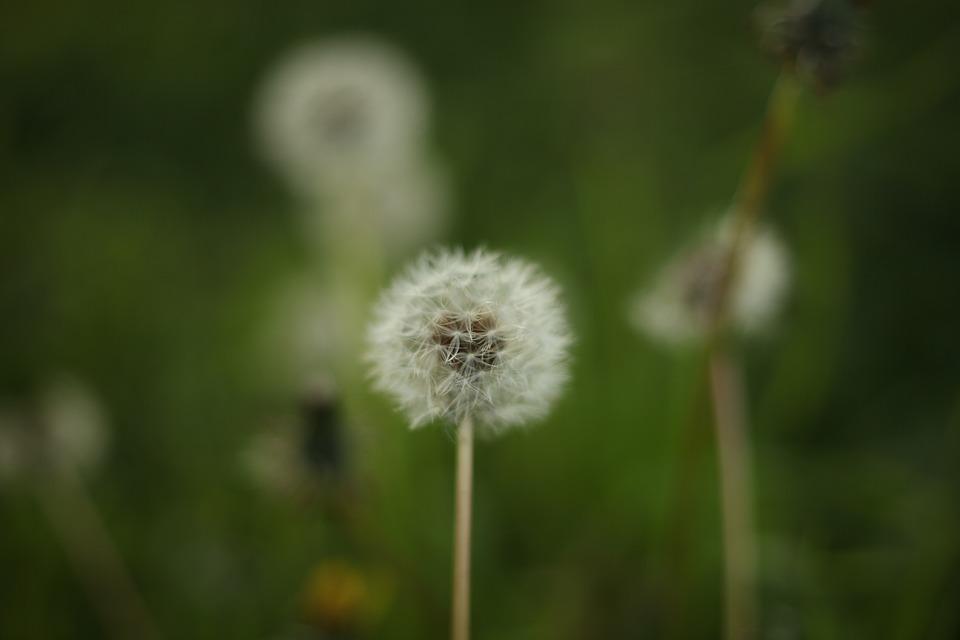 Dandelion, Flowers, Spring, Nature, Garden, Urban