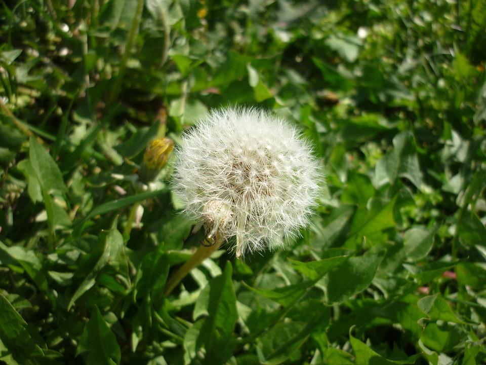 Dandelion, Spring, Nature, Floral, Plant, Natural