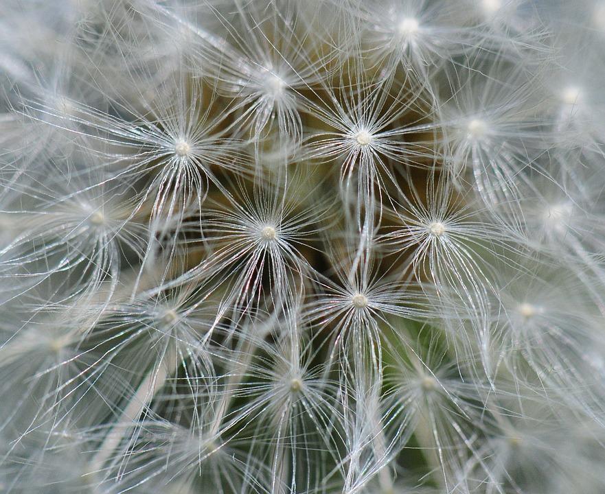 Dandelion, Close Up, Macro, Plant, Nature