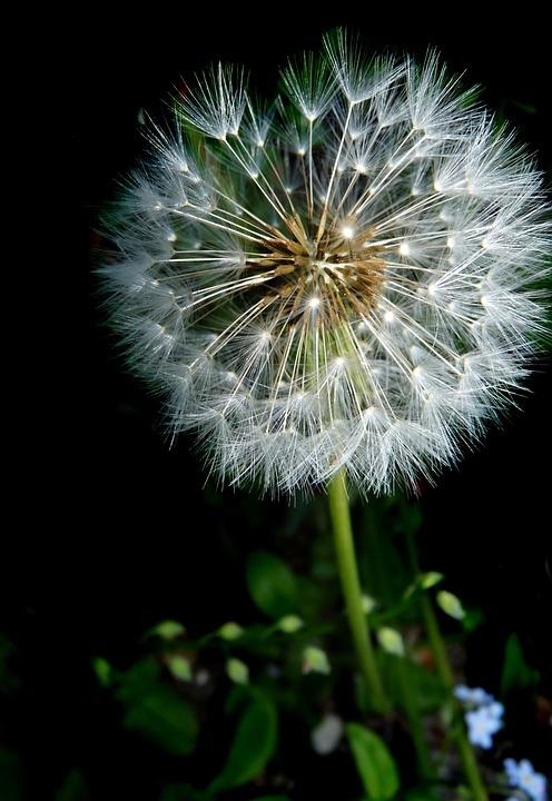 Dandelion, Seed Head, Fragile, Plant, Garden, Nature