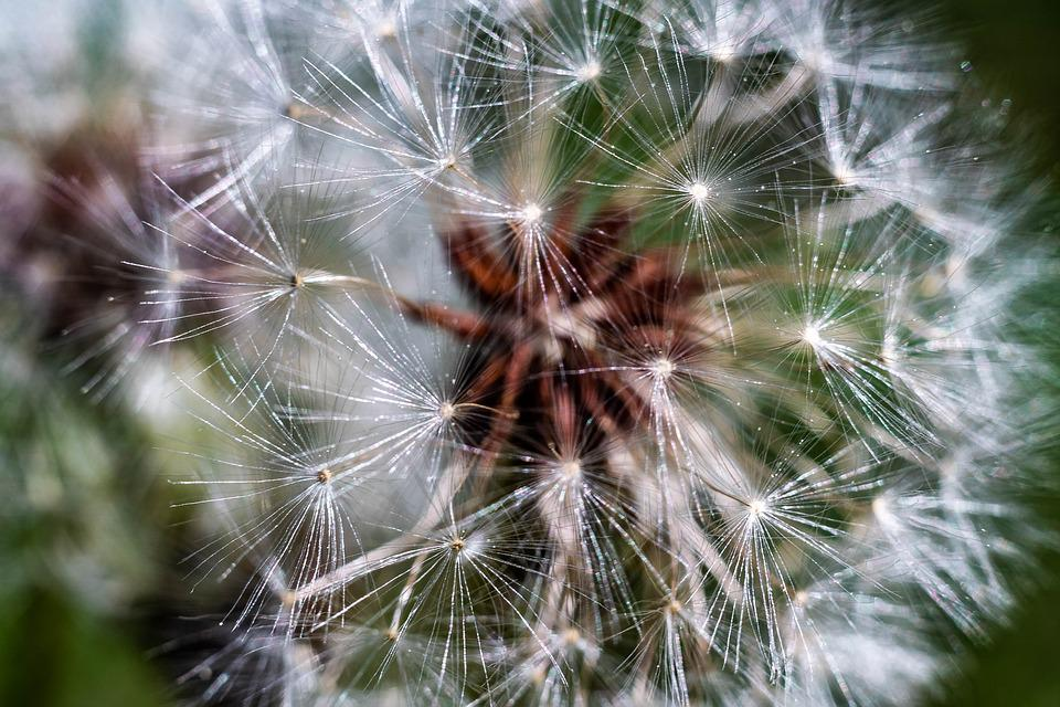 Dandelion, Macro, Close Up, Umbrella, Flower, Plant