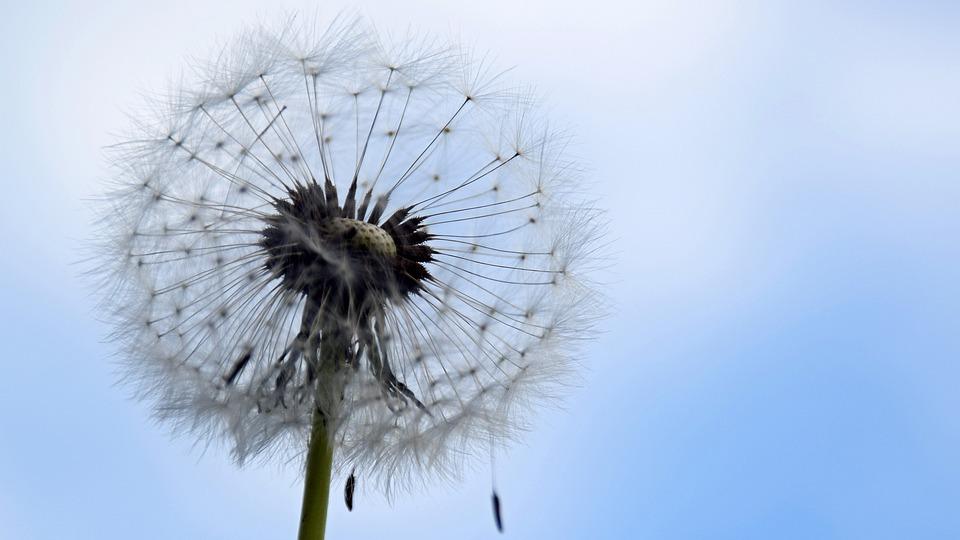 Dandelion, Spring, Nature, Pointed Flower, Flower, Sky