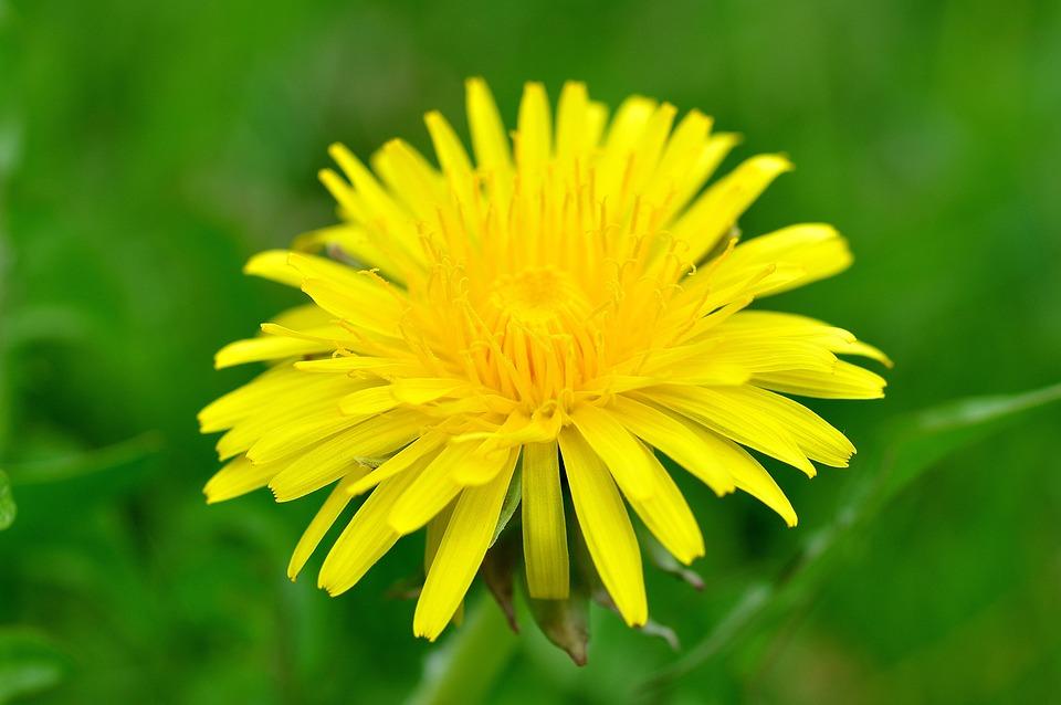 Dandelion, Flower, Pointed Flower, Yellow, Blossom