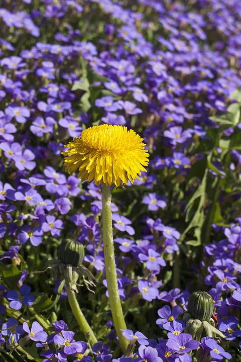 Yellow Flowered Leaf, Dandelion, Purple Flowers