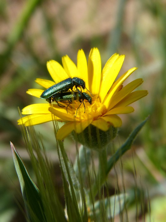 Insects Mating, Reproduction, Bugs, Dandelion, Flower
