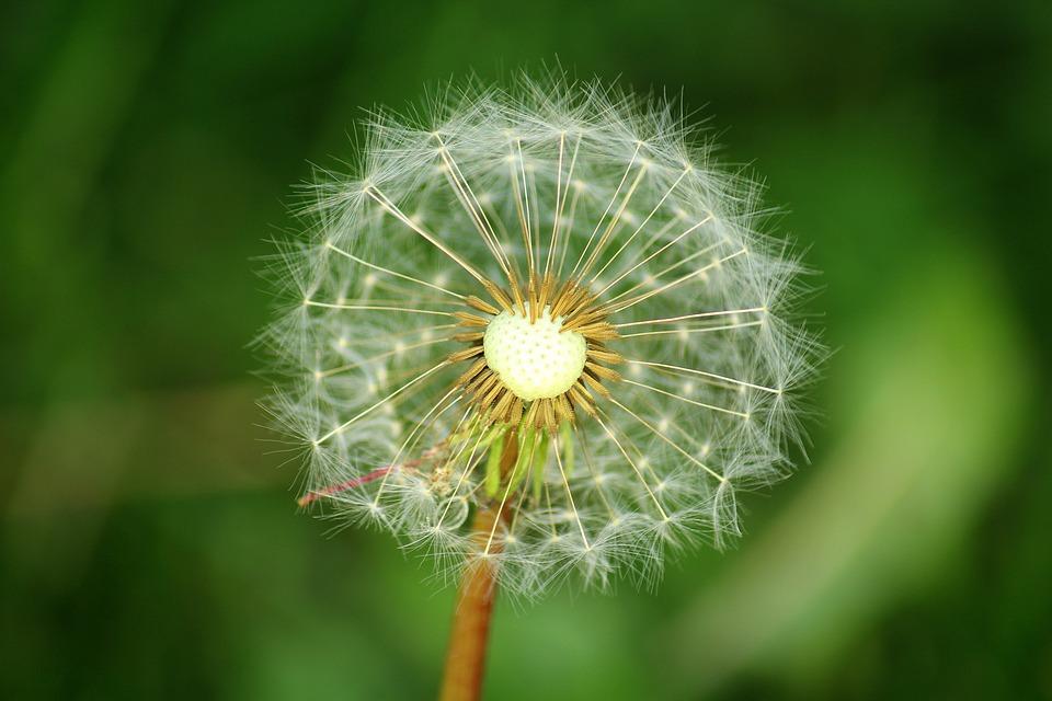 Dandelion, Seeds, Season, Spring, Nature, Plant