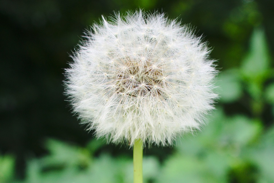 Dandelion, Blowball, Seed, White