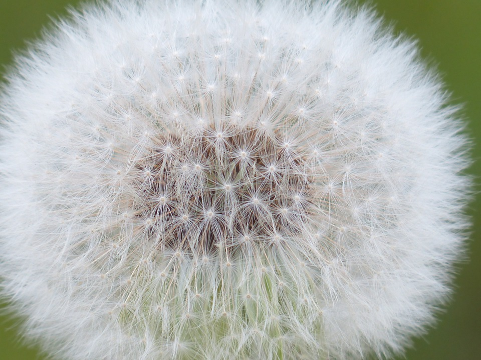 Dandelion, Seeds, Common Dandelion