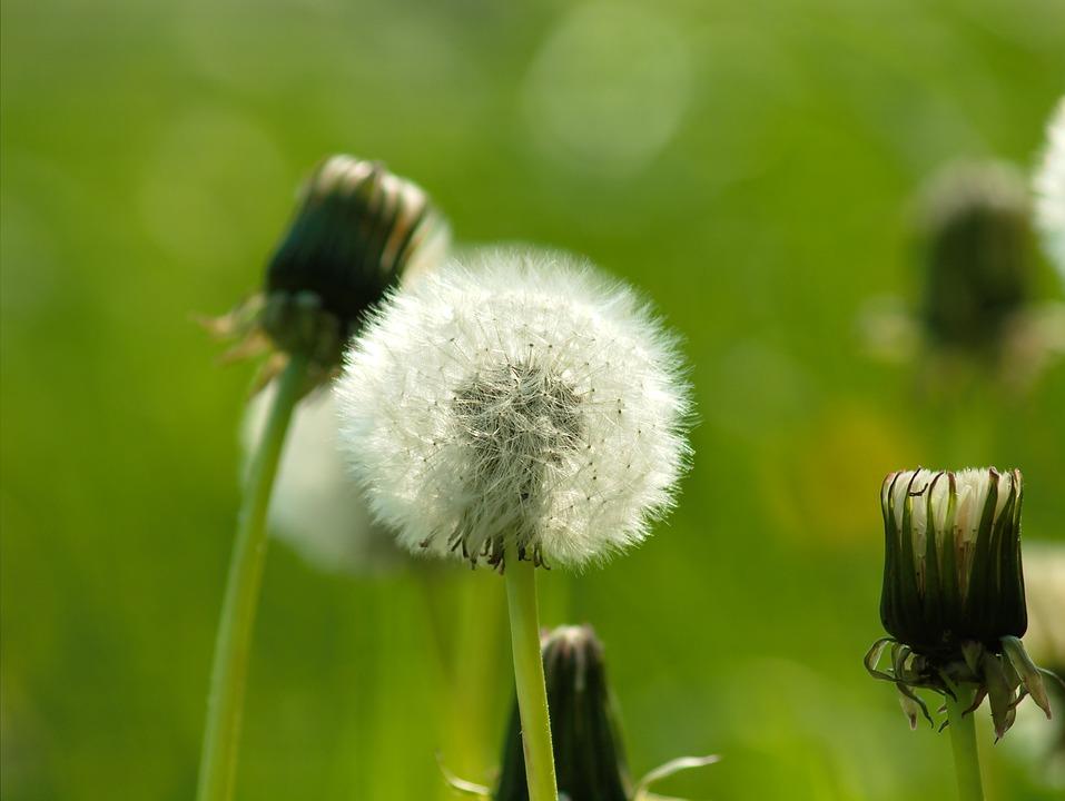 Dandelion, Wild Flower, Nature, Flower, Seeds, Plant