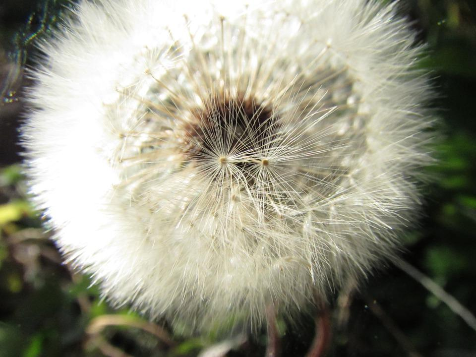 Dandelion, Nature, Plant, Seeds, Summer, Spring