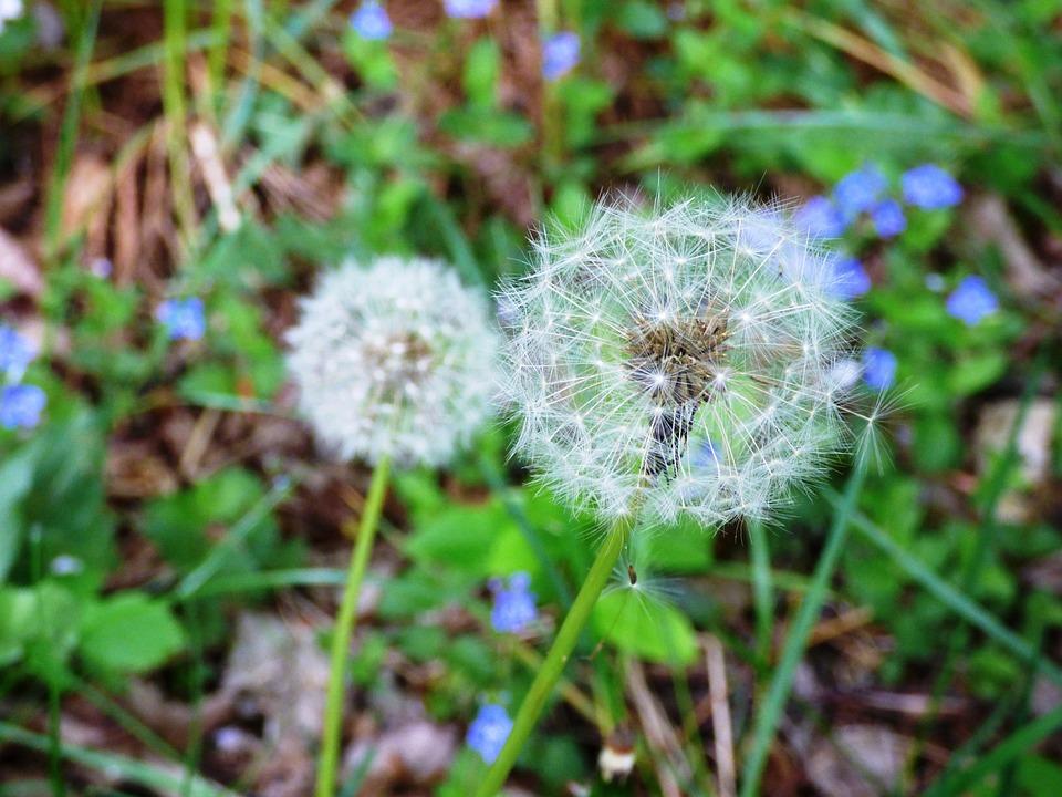 Dandelion, Flower, Flowers, Macro, Seeds, Pollen