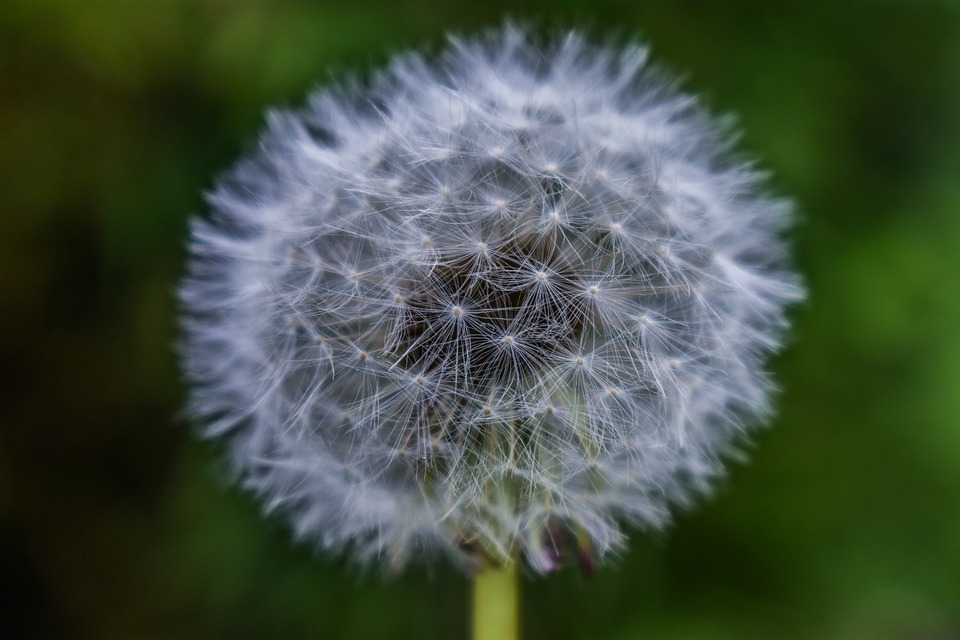 Dandelion, Tooth-of-lion, Seeds