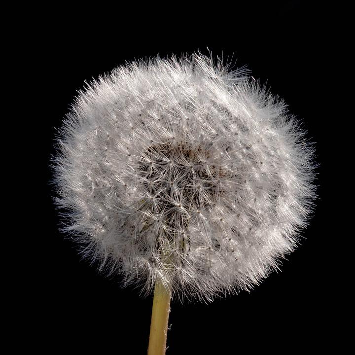 Dandelion, Fluffy, Shock, Tender, Seeds, Close Up