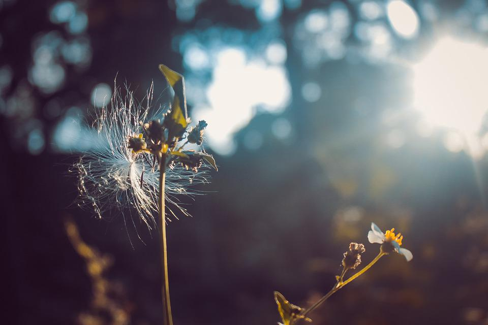 Nature, Flower, Pretty, Grass, Spring, Fresh, Dandelion