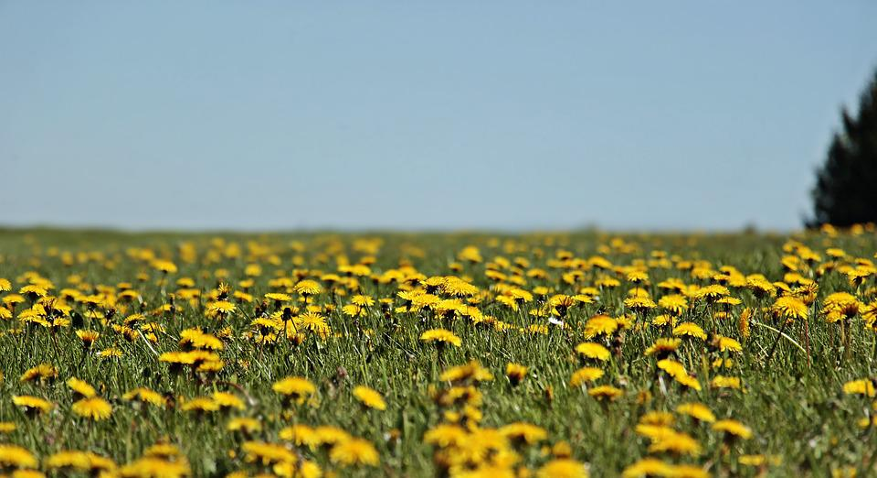 Dandelion, Meadow, Dandelion Meadow, Spring, Yellow