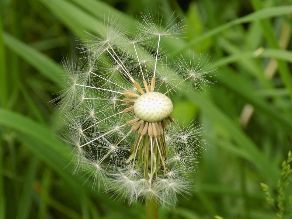 Dandelion, Seed, Nature, Spring, Flower, Summer, Flora