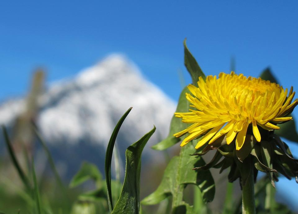 Spring, Spring Flower, Dandelion, Yellow, Bloom
