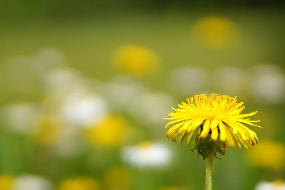 Nature, Plant, Flower, Summer, Dandelion, Growth
