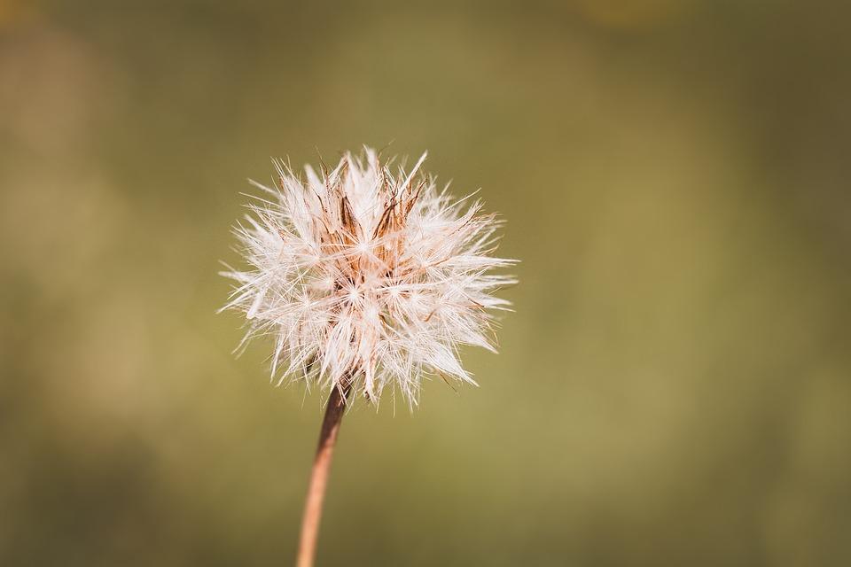 Dandelion, Nature, Plant, Grassland Plants, Summer