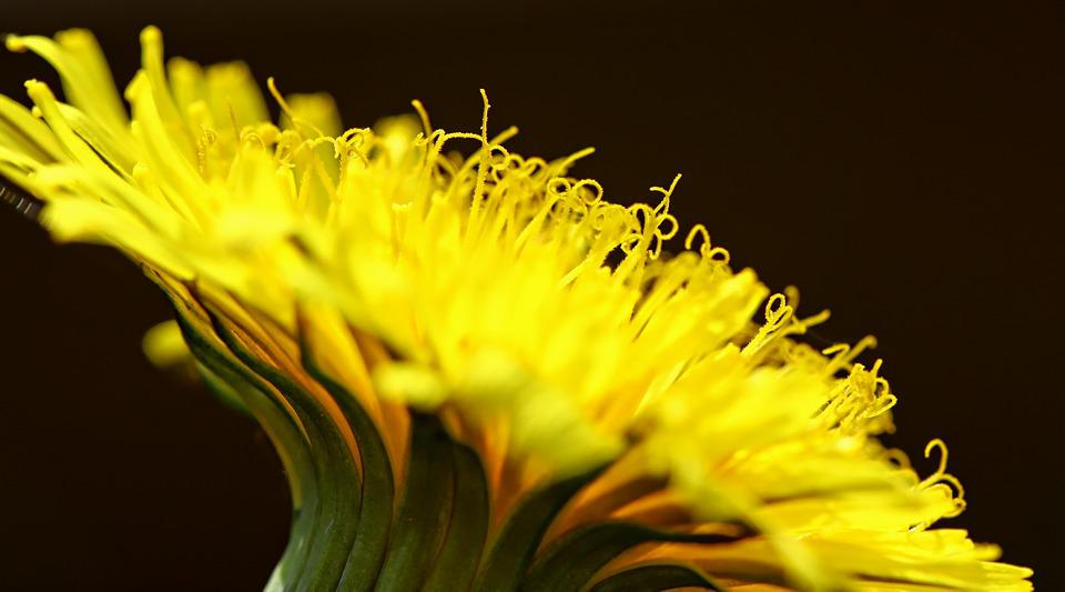 Nuns, Yellow, Wild Flowers, Dandelion, Spring, Plant