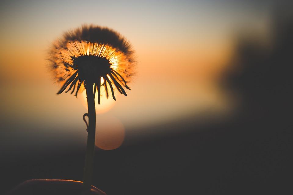 Flower, Dandelion, Backlighting, Silhouette, Wildflower