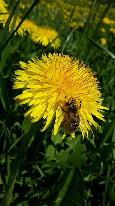Spring, Dandelion, Flowers, Honey, Wasp, Yellow