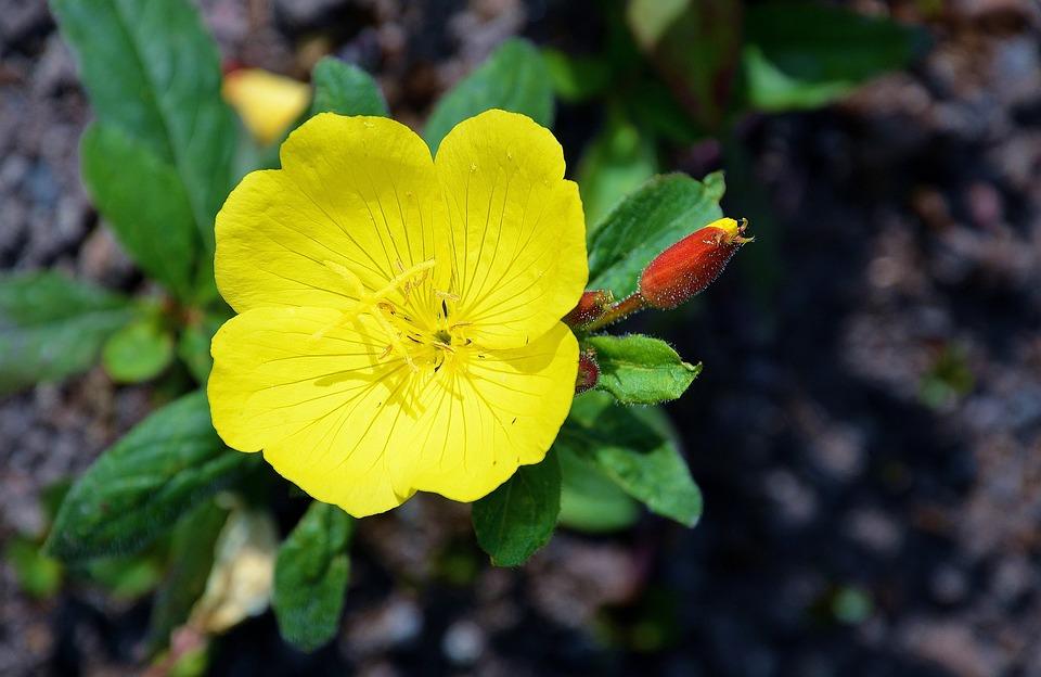 Yellow, Flower, Yellow Flower, Plant, Dandelion