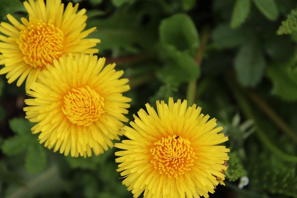 Dandelions, Yellow Flower, Botany, Flowers, Nature