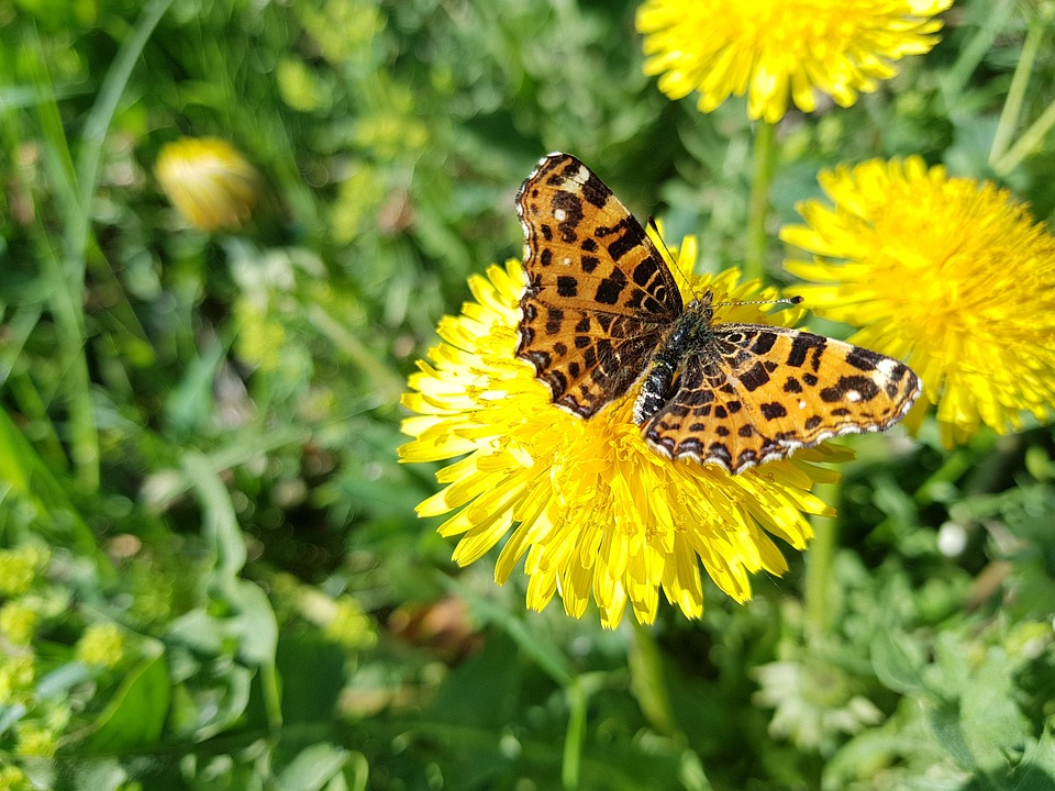 Butterfly, Dandelions, Meadow