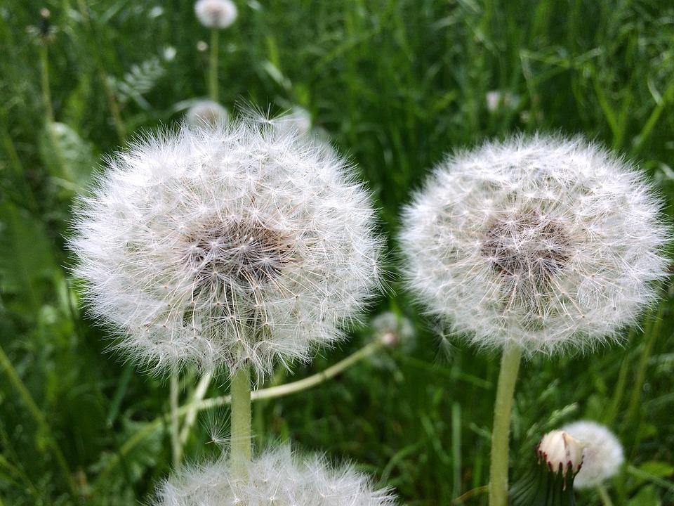 Dandelion, Dandelions, Nature, Summer, Furry, Flower