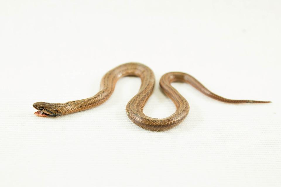 Snake, Adder, Serpent, Reptile, Animal, Danger, Viper