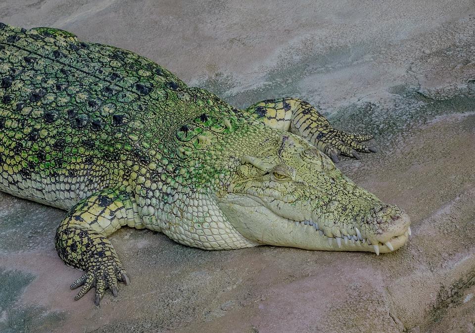 Crocodile, Tooth, Reptile, Dangerous, Predator, Animal