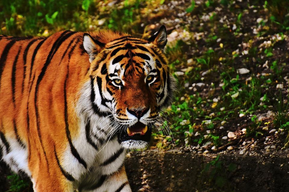 Tiger, Cat, Predator, Wildcat, Dangerous, Big Cat, Zoo