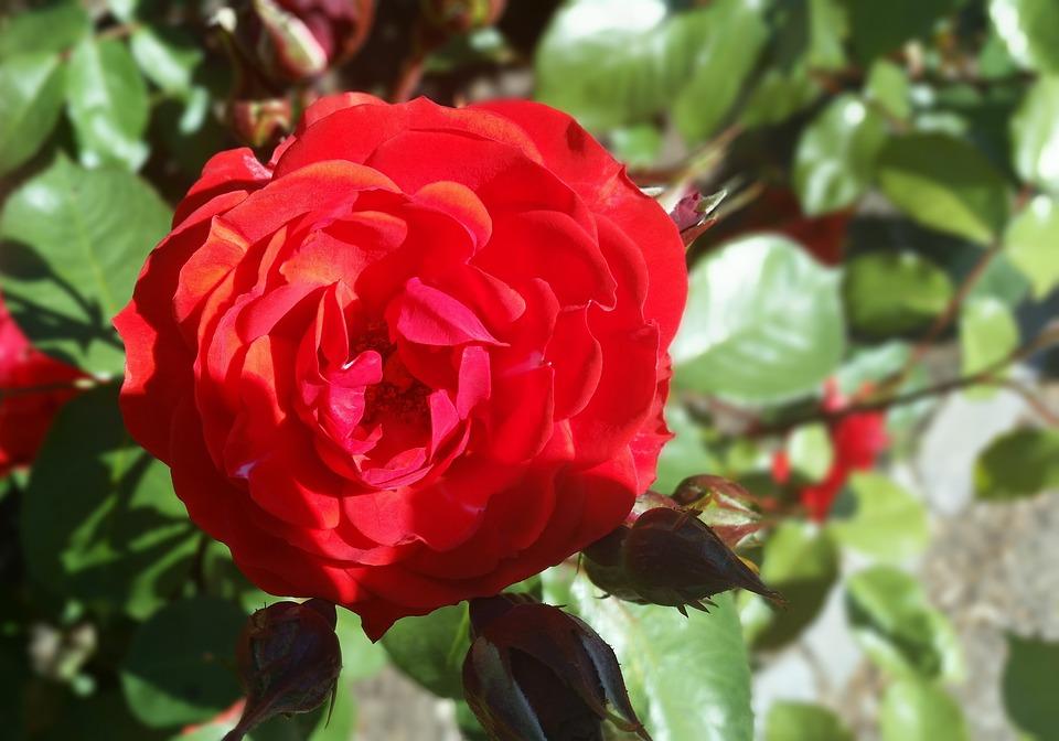 Rose, Red, Nice, Summer, Danish, Denmark