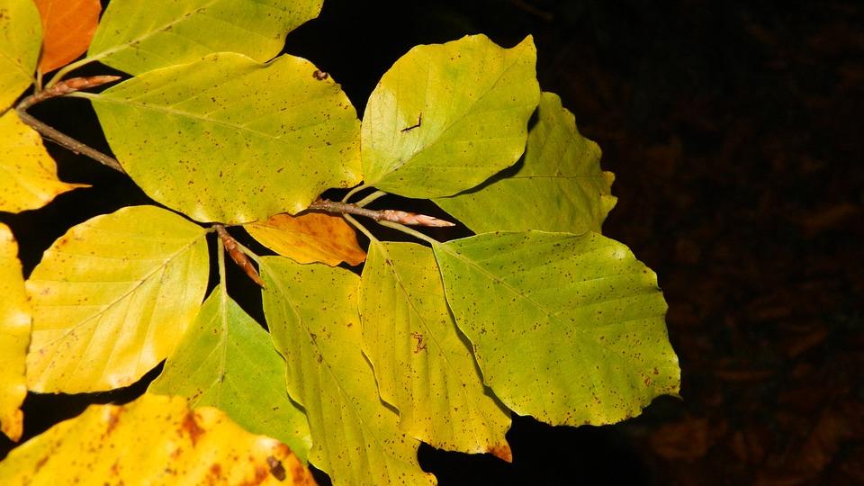 Autumn, Beech Leaves, Dark Background, Yellow, Autumnal