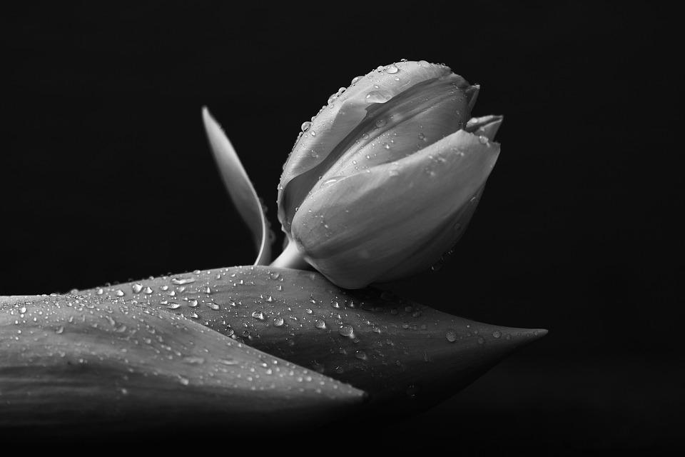 Black, Black And White, Botany, Dark, Flower, Low Key